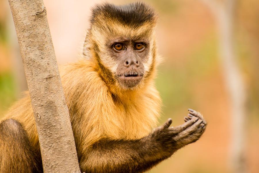 O que os macacos-prego podem nos dizer sobre apré-história?