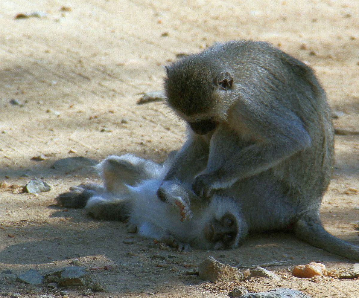 Primatas não-humanos poderiam ter comunicaçãosimbólica?