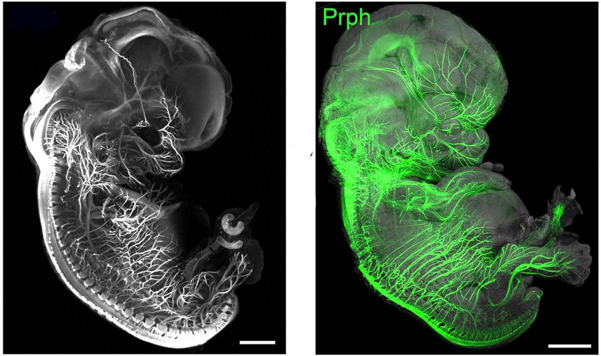 Embriões transparentes
