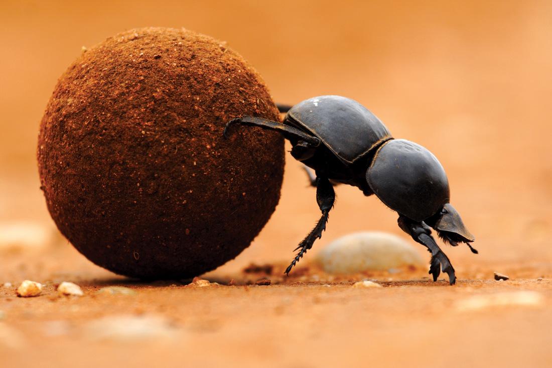 O que você sabe sobre os besourosrola-bostas?