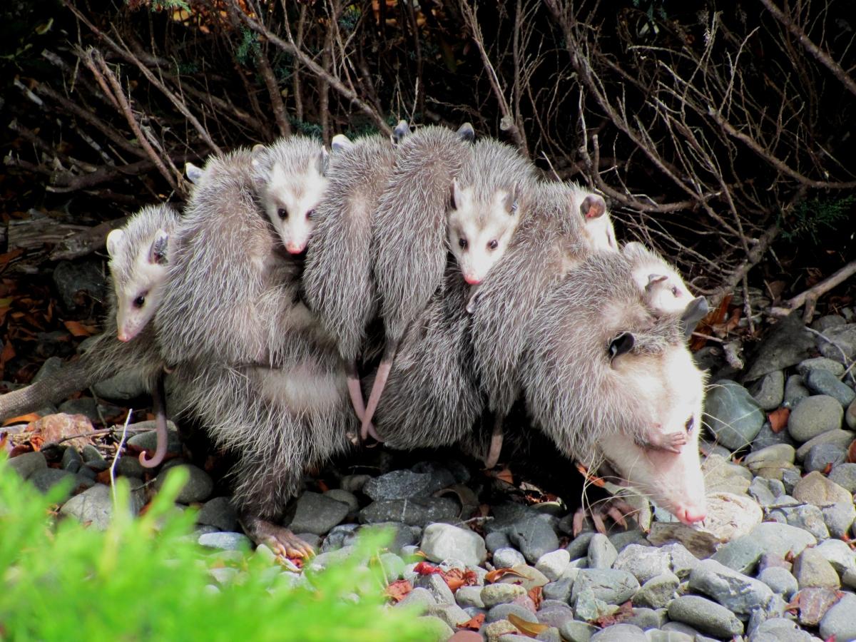 O que os marsupiais nos ensinam sobre a evolução dagravidez