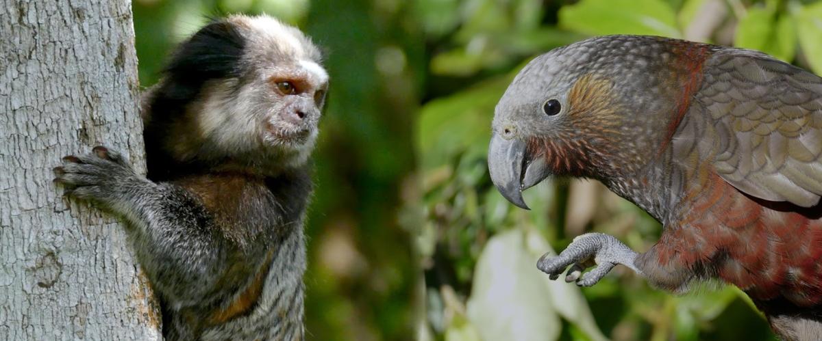 Dois cérebros para pensar: a evolução da inteligência em aves emamíferos