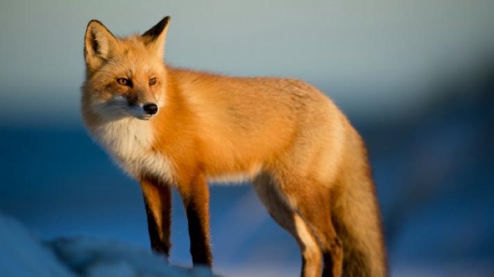 Agressividade, docilidade e domesticação: O que o genoma das raposas-vermelhas tem a nosdizer?