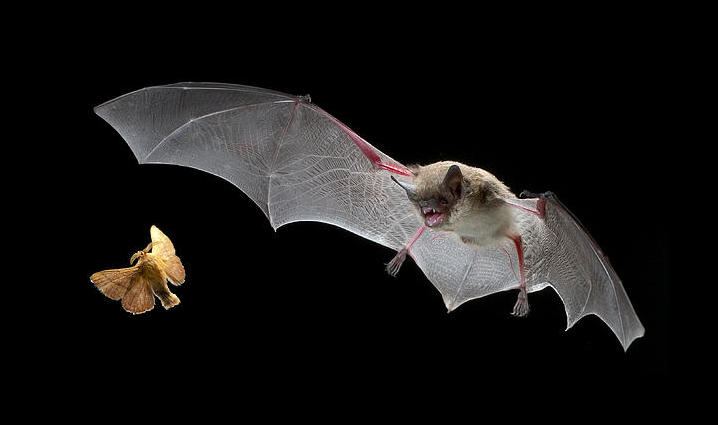 little-brown-bat-hunting-moth-michael-durham