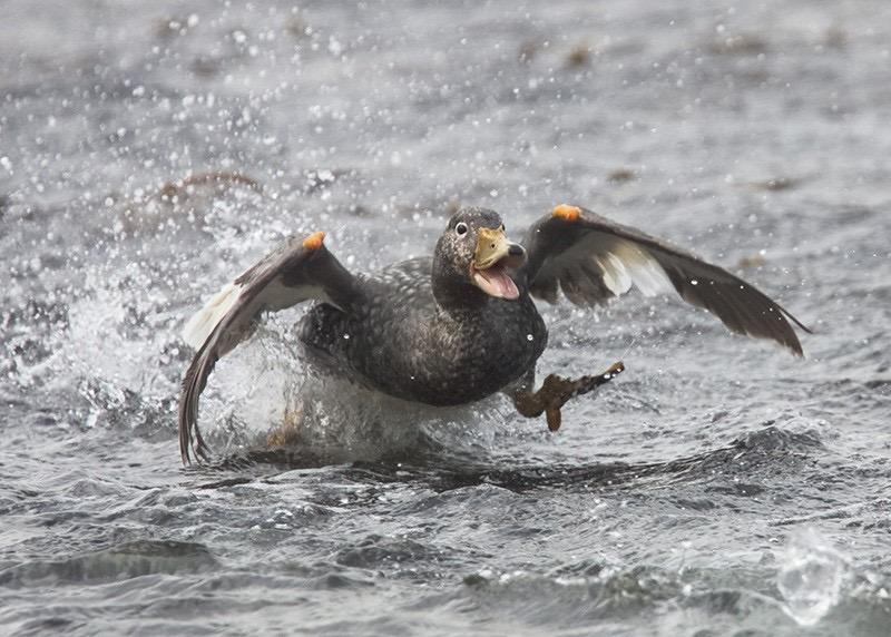 O pato que pode nãovoar